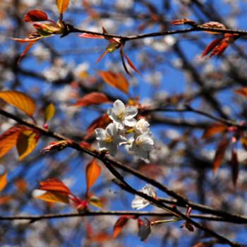 山桜が咲き始めました