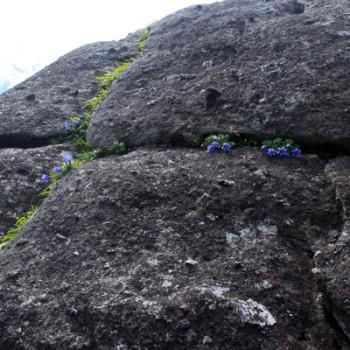 屋久島の固有植物、ヤクシマリンドウが咲いてます!