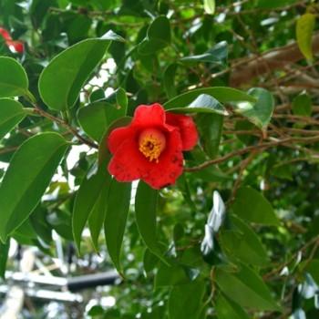 3月に咲いている屋久島の植物②