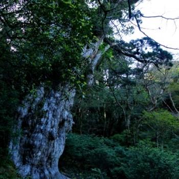 朝日で染まる縄文杉
