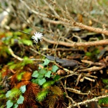 11月上旬屋久島の高地で見つけた植物 花編